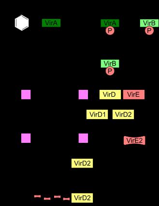 Estrusione del tDNA in Agrobacterium tumefaciens