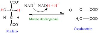 Ciclo di Krebs e reazione malato-ossalacetato