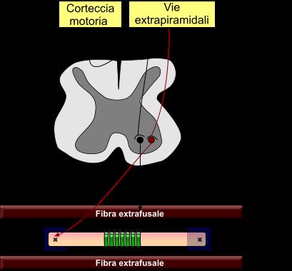 Motoneurone alpha e gamma