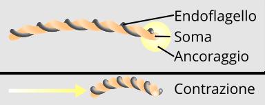 Spirochete e movimento tramite endoflagelli