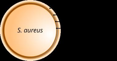 Struttura di staphylococcus aureus