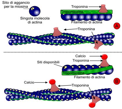 Troponina, tropomiosina ed actina